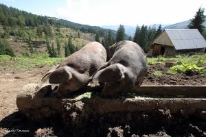 10_Porcii au tabarat pe mancarea pregatita