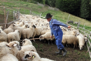 19_E ora 16, vine acasa sotul doamnei cu oile si incepe mulsul